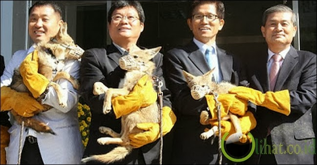 Kloning Coyote d! Korea Selatan
