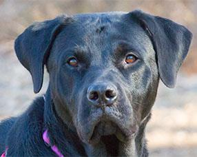 Talking Dogs At For Love Of A Dog Adopt Aggie Rottweiler Lab Mix