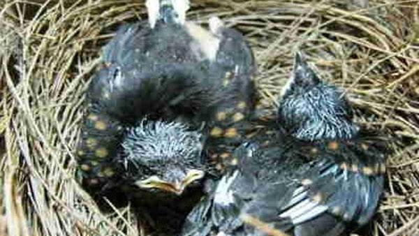 Cara Perawatan Burung Kacer Poci Dari Lolohan Hingga Dewasa