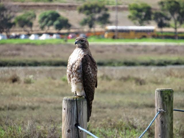 SF Bay Area Bird Watching: Hawk at Palo Alto Baylands