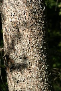 Épicéa commun - Picea abies