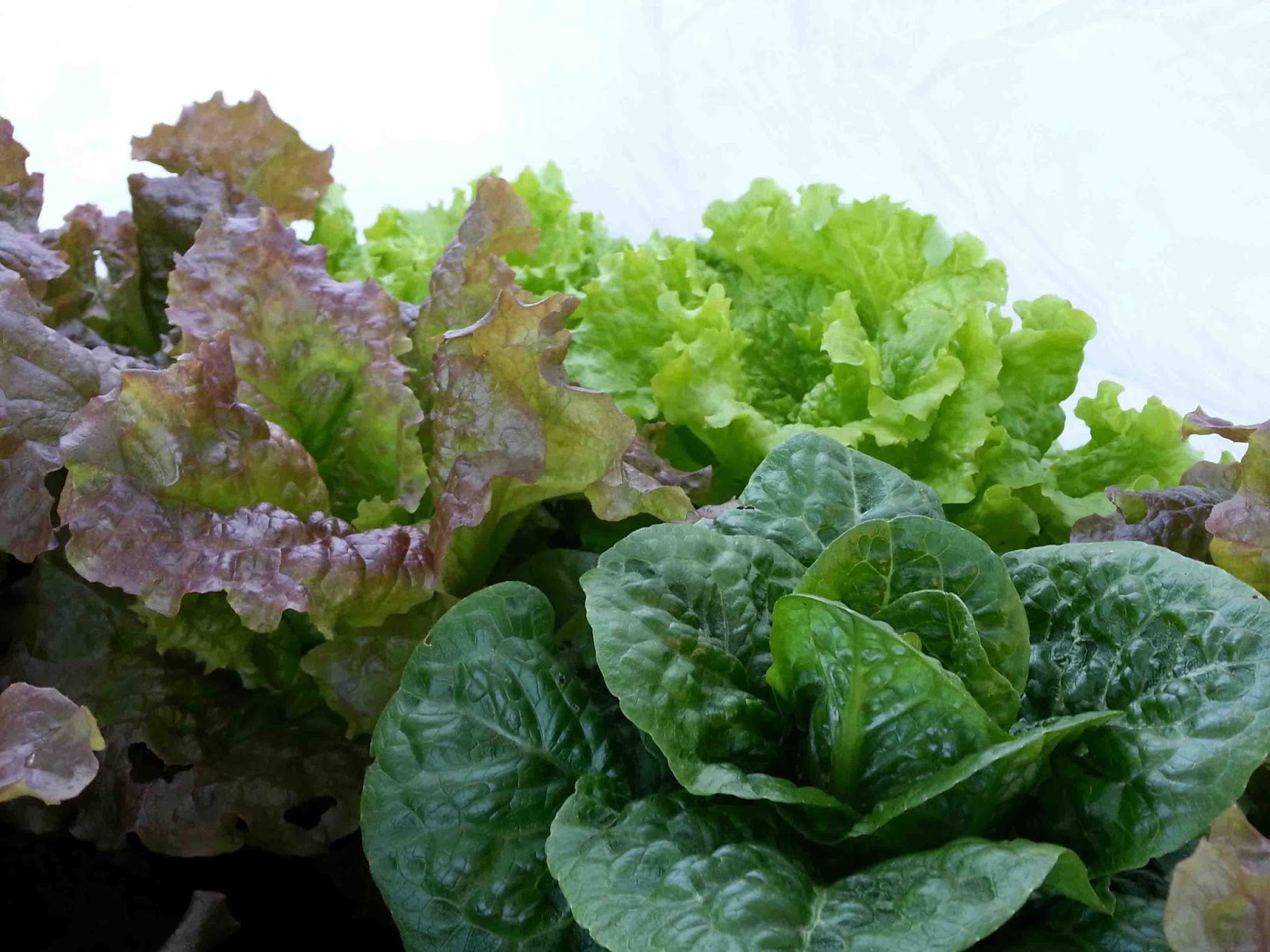 Does Lettuce Lose Nutrients If Left At Room Temperature