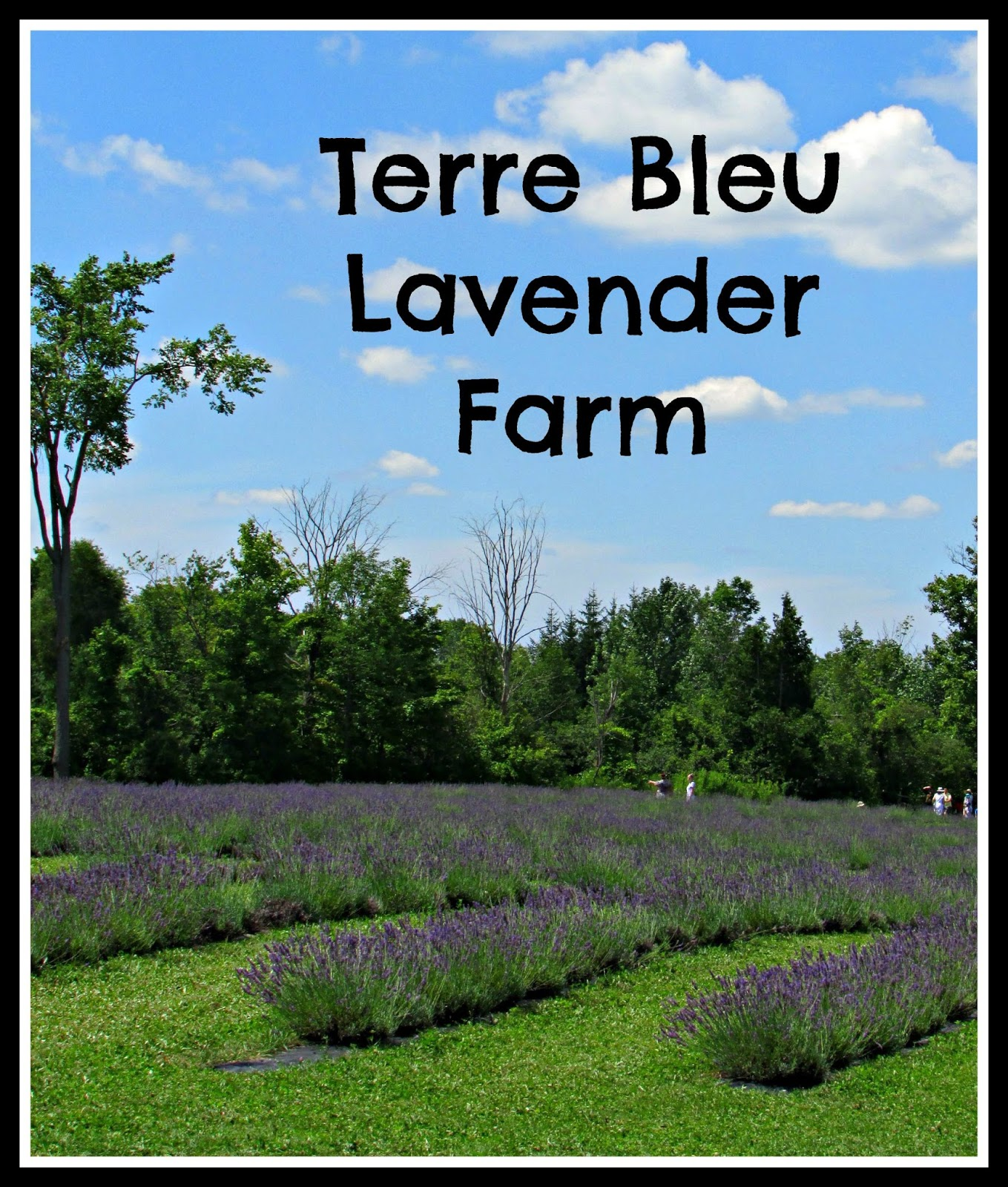 Queen B - Creative Me: A Visit to Terre Bleu Lavender Farm