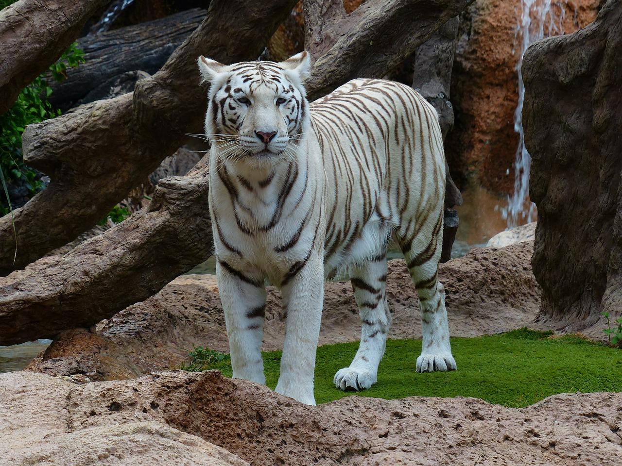 Gambar Harimau Putih Youtube Skip Navigation Gambar Utih