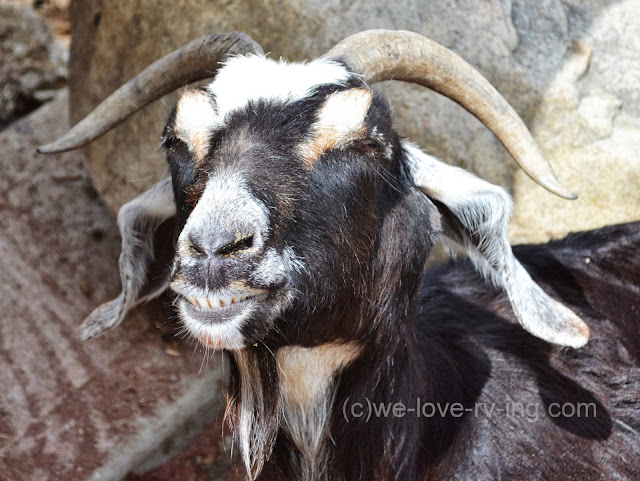 This goat is relaxed and enjoying the warm sun