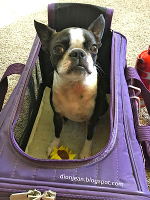 Sinead the Boston terrier prepares for an airplane trip