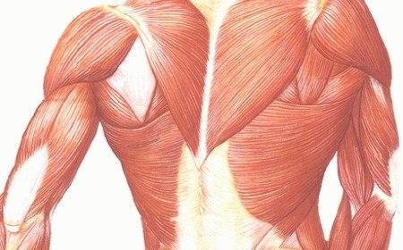 Encima De Una Camilla Cuántos Músculos Tiene El Cuerpo Humano