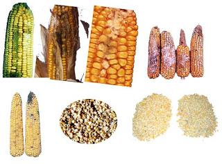 contoh pakan mengandung aflatoksin atau racun