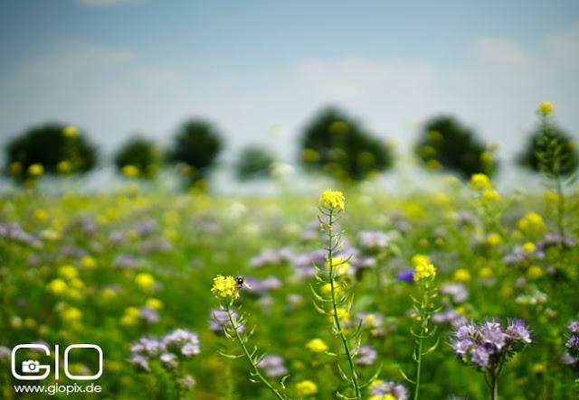 Blumenwiese mit Baumreihe in Kleinenbroich