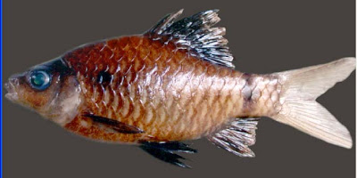 Puntius nigripinnis sp., new Indian barb