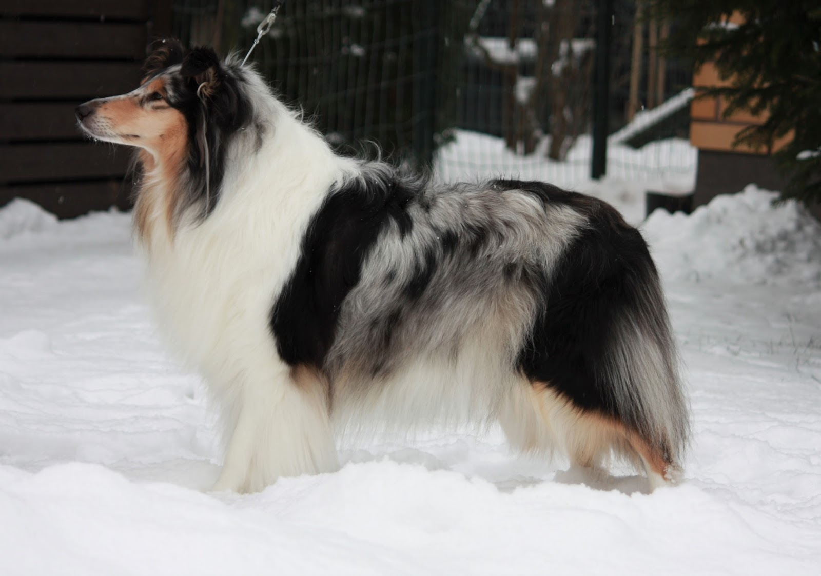 Pitkäkarvainen collie, Leaftribe Timeless Melody