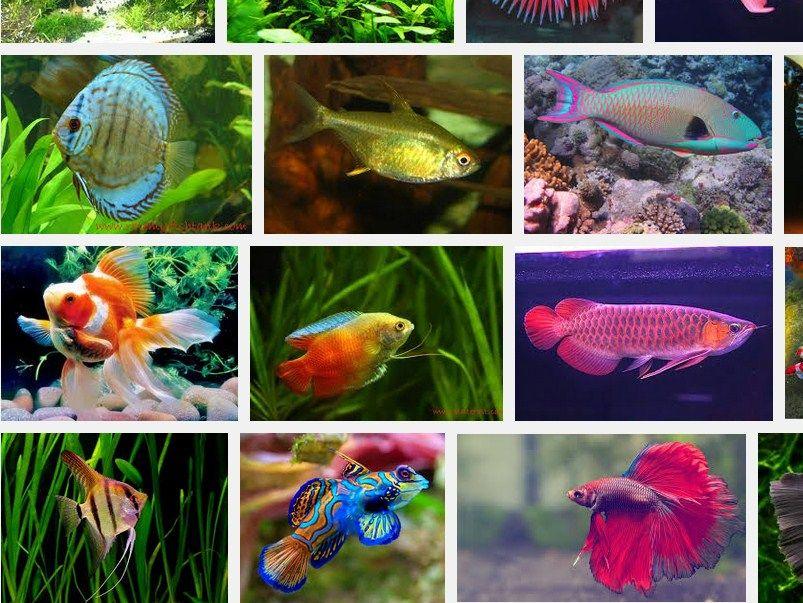 Jenis Jenis Ikan Hias Air Tawar Berikut Daftar Nama Ikan Hias Beserta Gambarnya