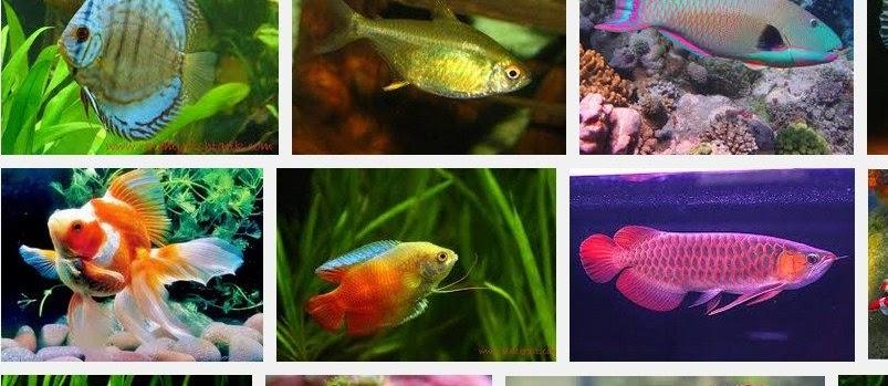 Jenis-JENIS IKAN HIAS Air Tawar? Berikut Daftar Nama Ikan Hias Beserta Gambarnya
