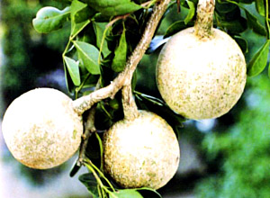 Wood -apple/Limonia acidissaima | Herbal plants Sri Lanka