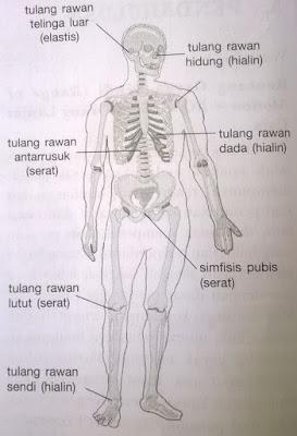 letak tulang rawan