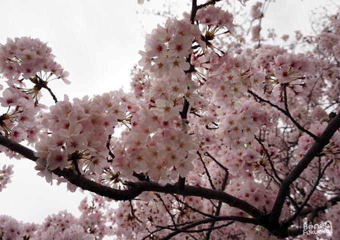 Sakura 2016, Chûô park, Fukuoka