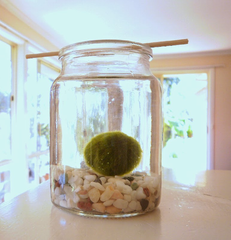 Marimo moss ball in a jar of water
