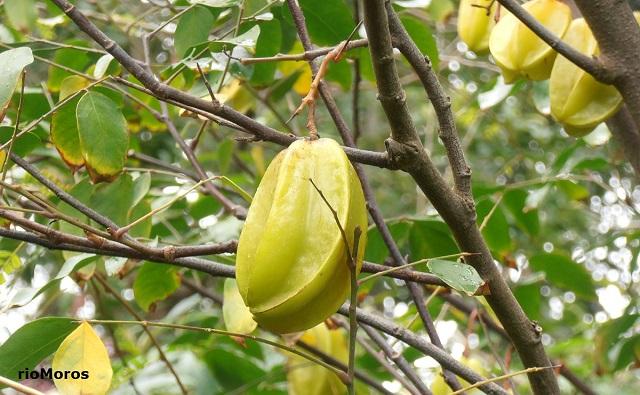 Fruta estrella o Carambola Averrhoa carambola