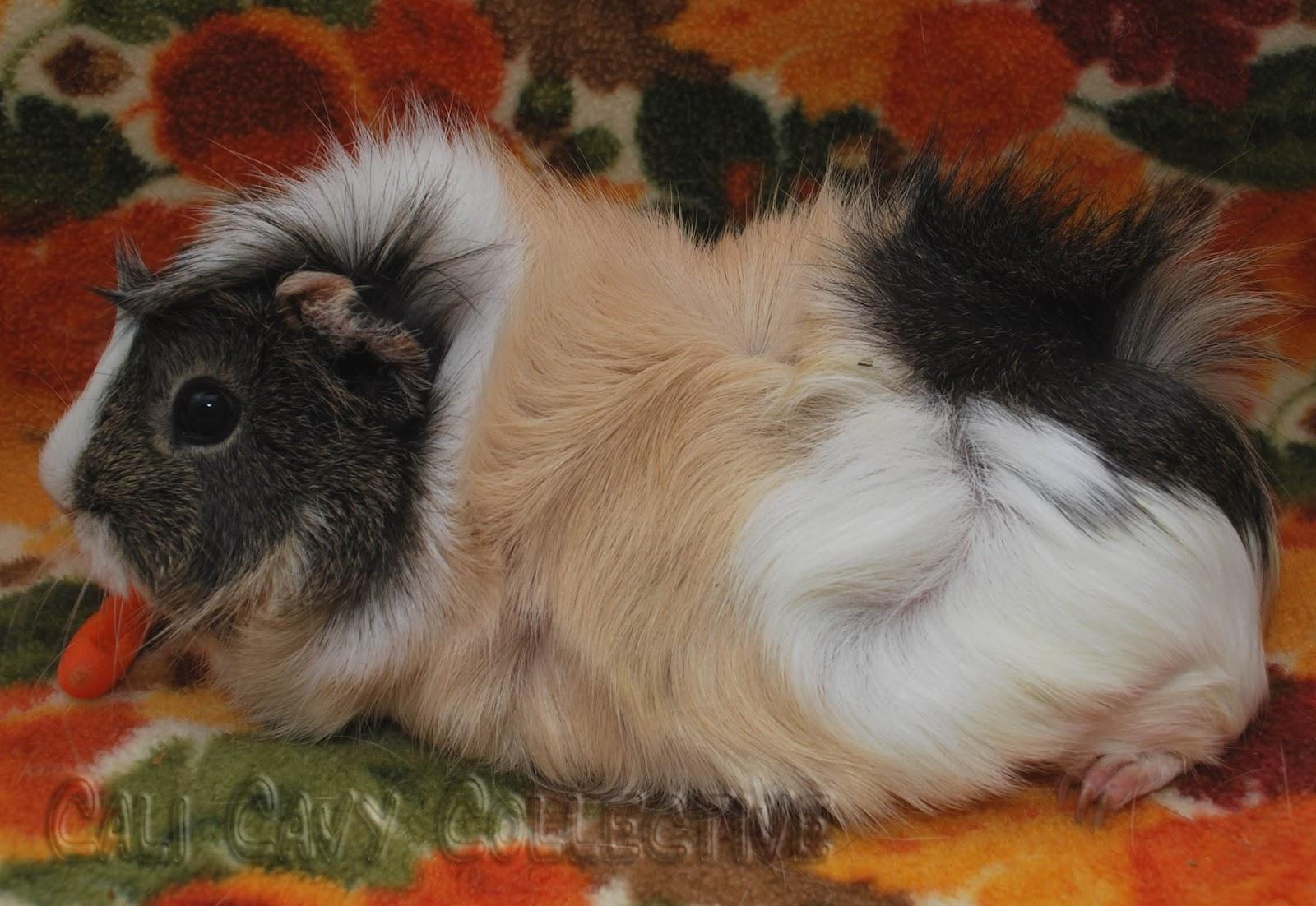 Tms antibiotic guinea pig - TheodoreBates1's blog