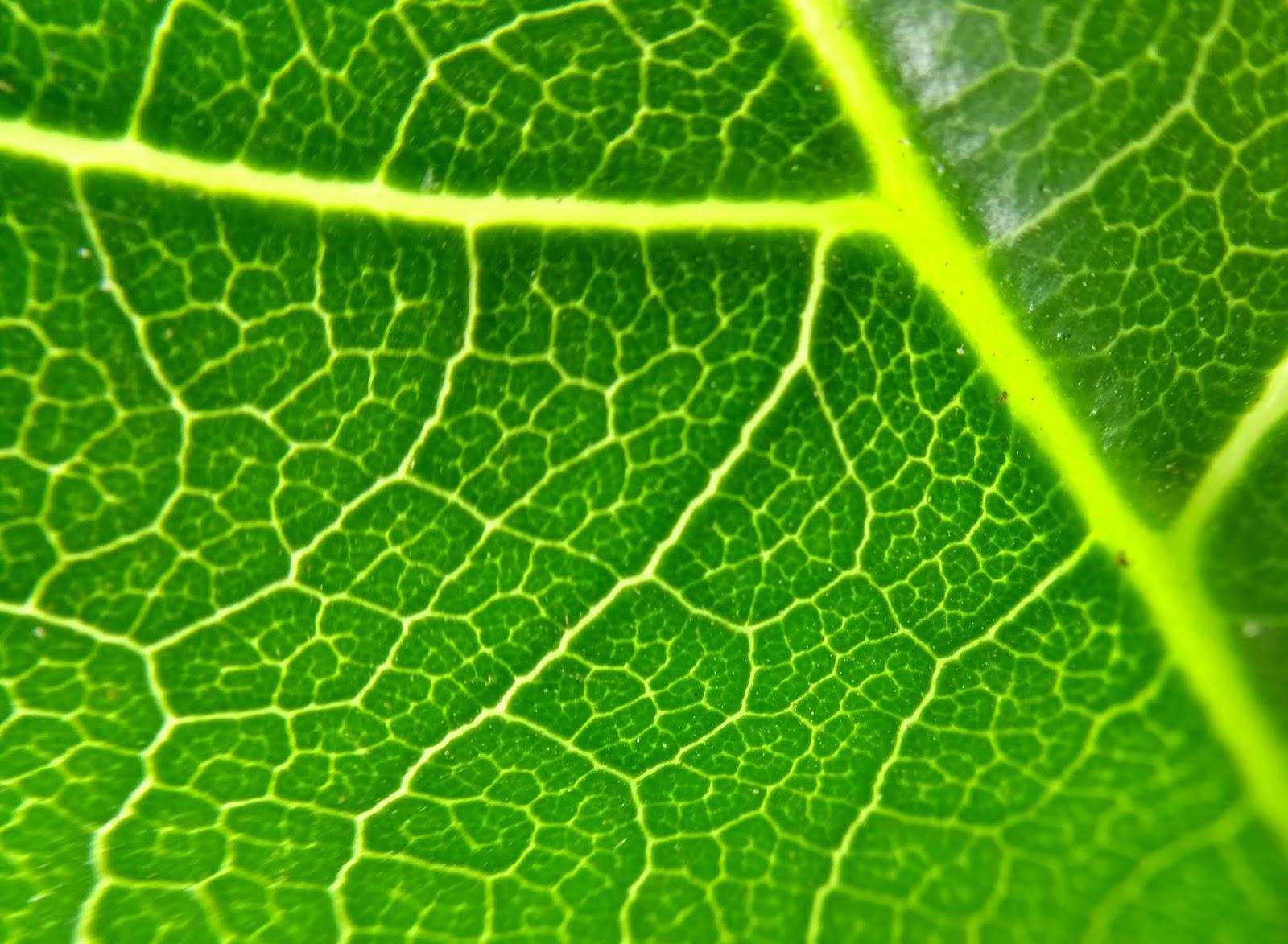 Premna, Leaf, venation