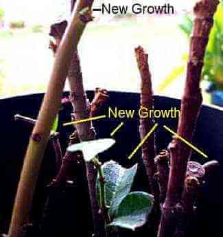 Picture of Rooted magnolia cuttings