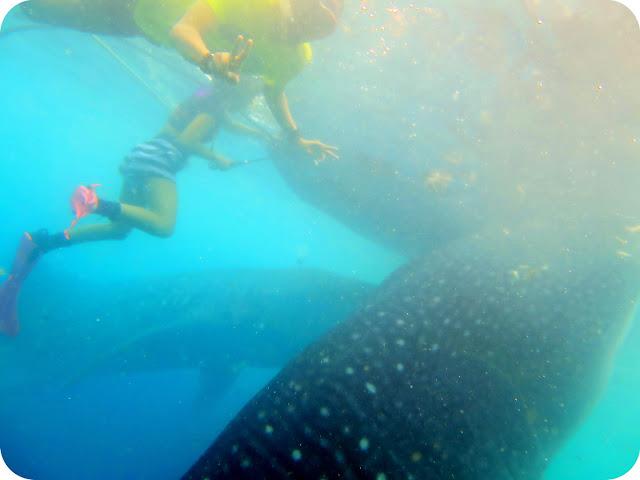 Whale+Shark+Botubarani+Gorontalo