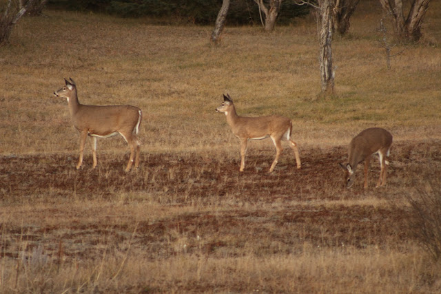 Three deer, viewed from the deck