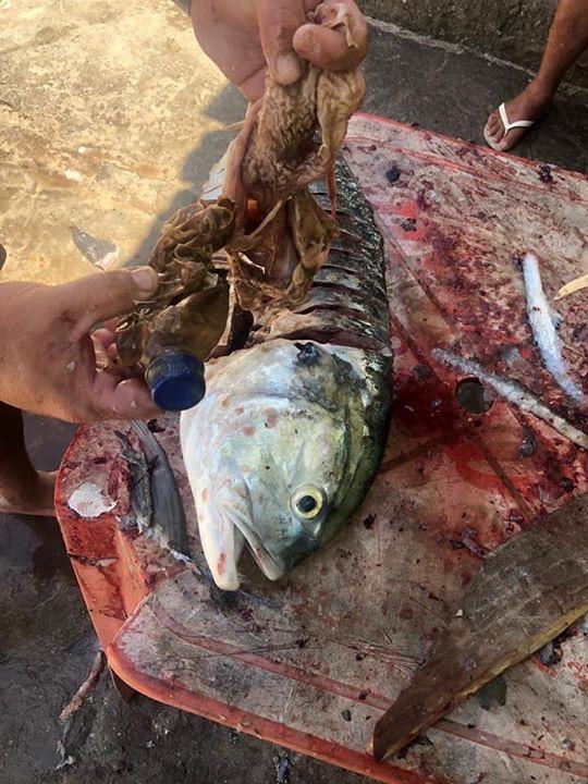 """Pescador encontra garrafa pet dentro da barriga de um """"charéu"""" na Prainha"""