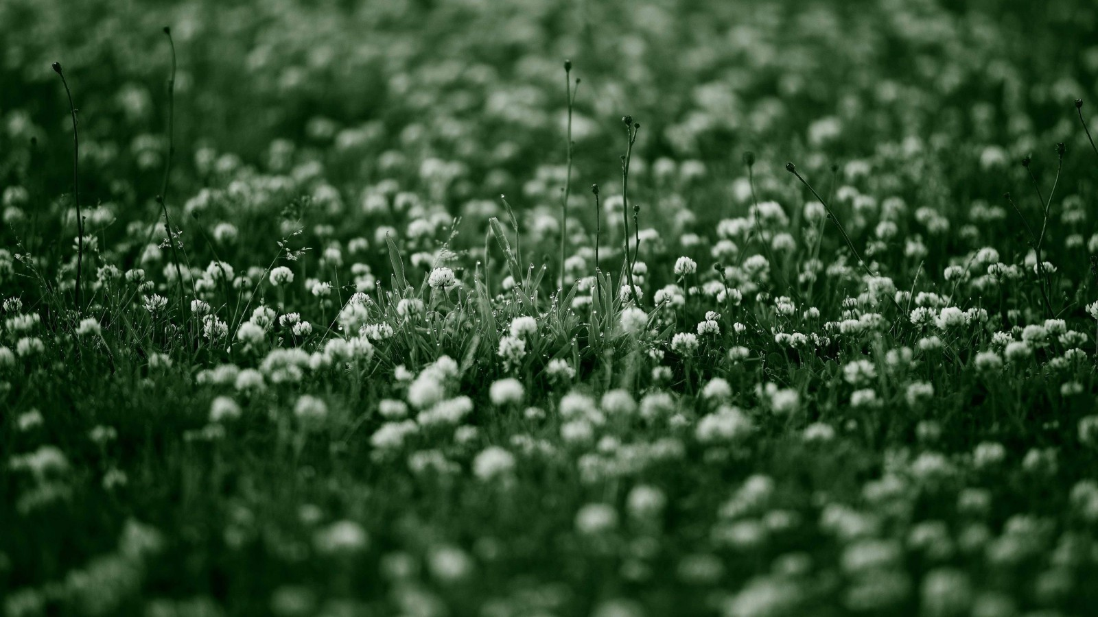 clover flower wallpaper