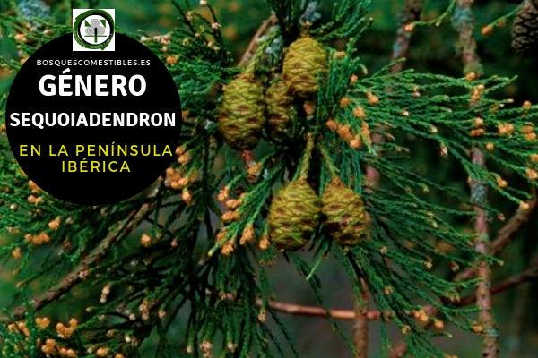 Lista de especies del Género Sequoiadendro, Familia Taxodiaceae en la Península Ibérica