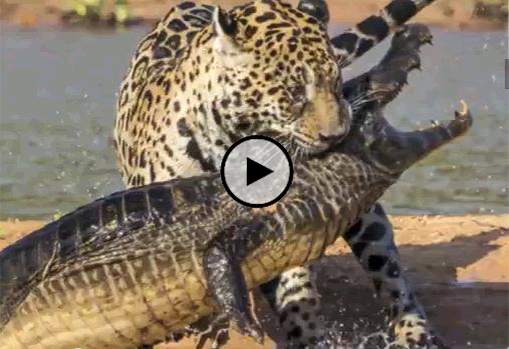 The gallery for --> Jaguar Attack Crocodile