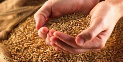 Preços do trigo recuam no Brasil antes da colheita, aponta Cepea