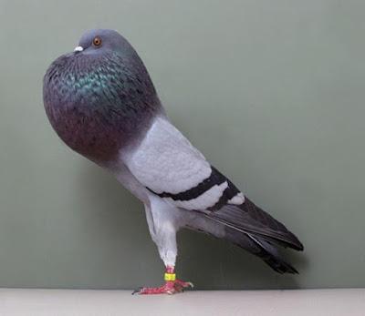 horseman thief poter pigeons