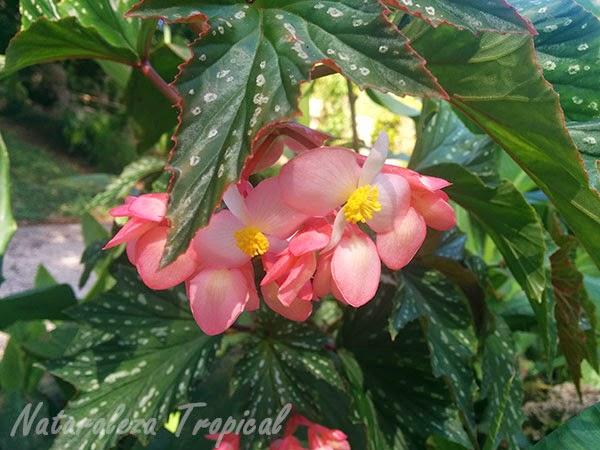 Flores begonias de gran tamaño y colorido, género Begonia