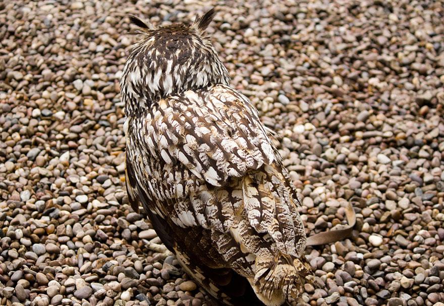 animal-camouflage-Owl-1