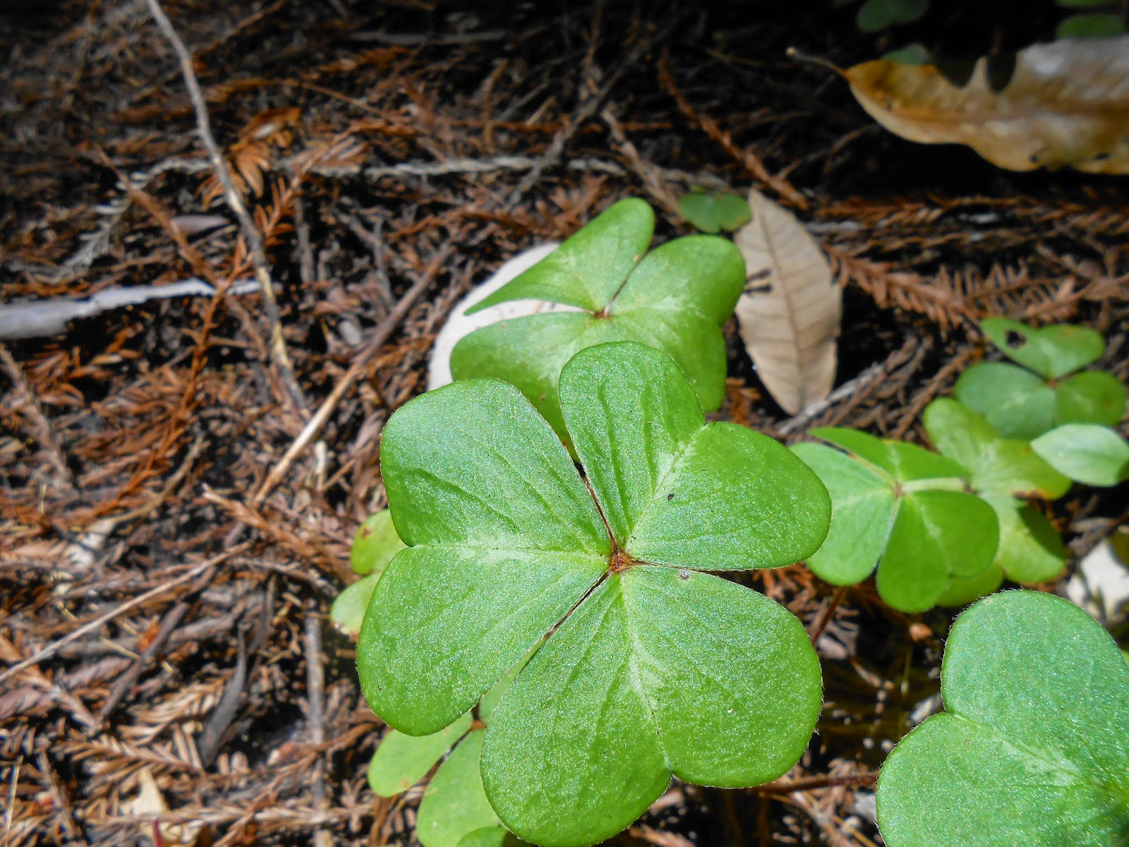 clover, intuition, clover picture, clover photography, spiritual photography