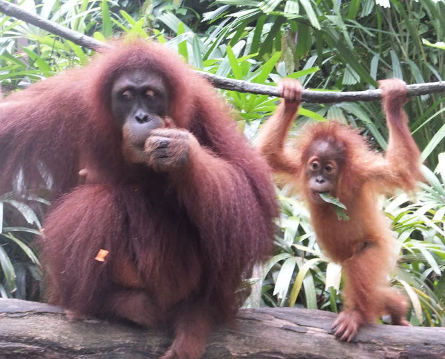 Singapore Zoo Orangutan Mother with baby
