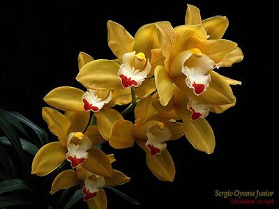 Orquídea Cymbidium híbrido