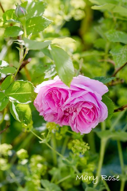 Impressionen aus dem Rosengarten, Pomponetti, Mary Rose