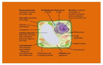 Macam Macam Organel Sel Tumbuhan dan Fungsinya