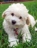 Çimler üzerinde sevimli bir kaniş köpeği bakarken