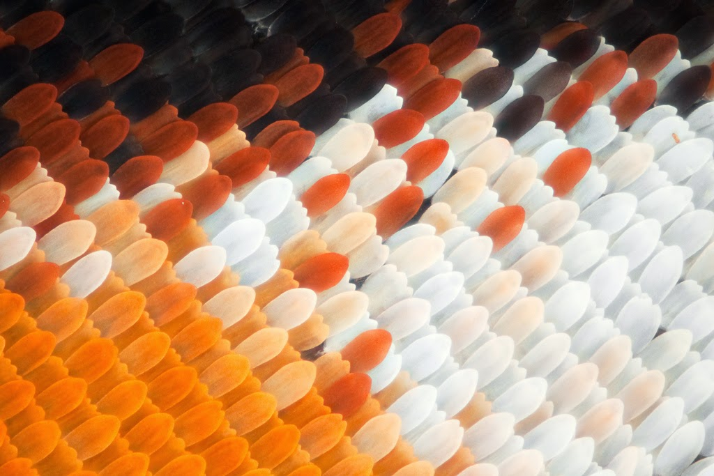 Monarch butterfly wing under the microscope