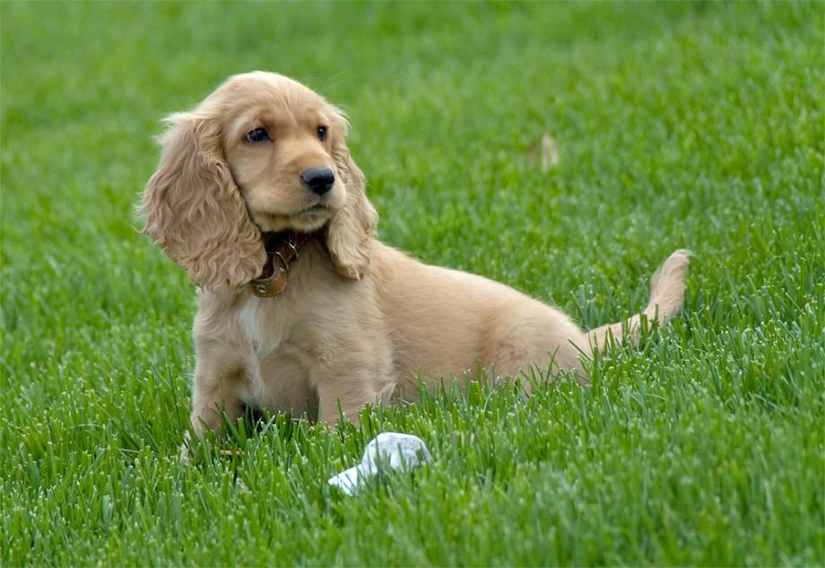 Cocker Spaniel Puppy For Sale In Turkey