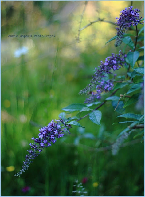flower, purple, blossom,  Summer light © Annie Japaud Photography 2013
