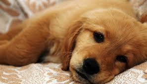 Đề Phòng Bệnh Cúm Ở Chó