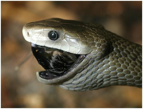 top dangerous black mamba snake wallpapers hd