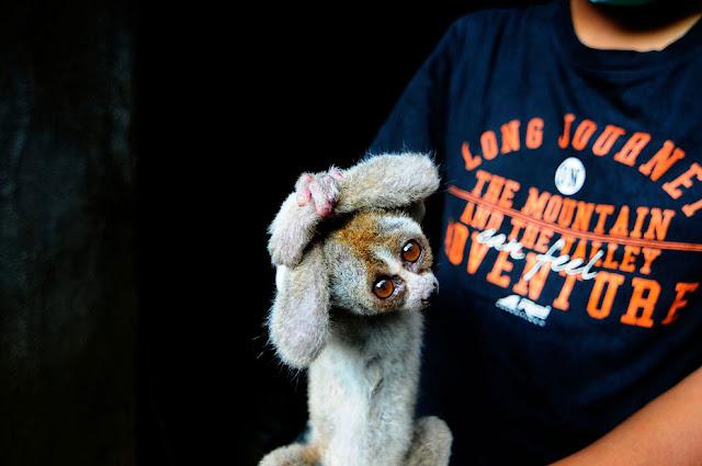 Яванский медленный лорис - один из наиболее исчезающих видов в мире.