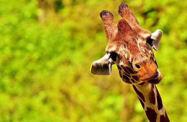 język żyrafy pomaga w komunikacji z pracownikami i klientami
