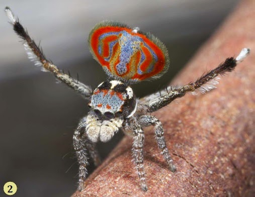 http://sciencythoughts.blogspot.co.uk/2015/04/maratus-elephans-new-species-of-peacock.html