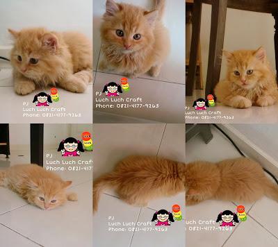Jual - Beli Kucing Persia Anggora Daerah Surabaya - Sidoarjo